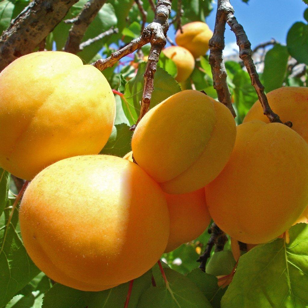 Как из косточки вырастить абрикос? Видео и пошаговая 13