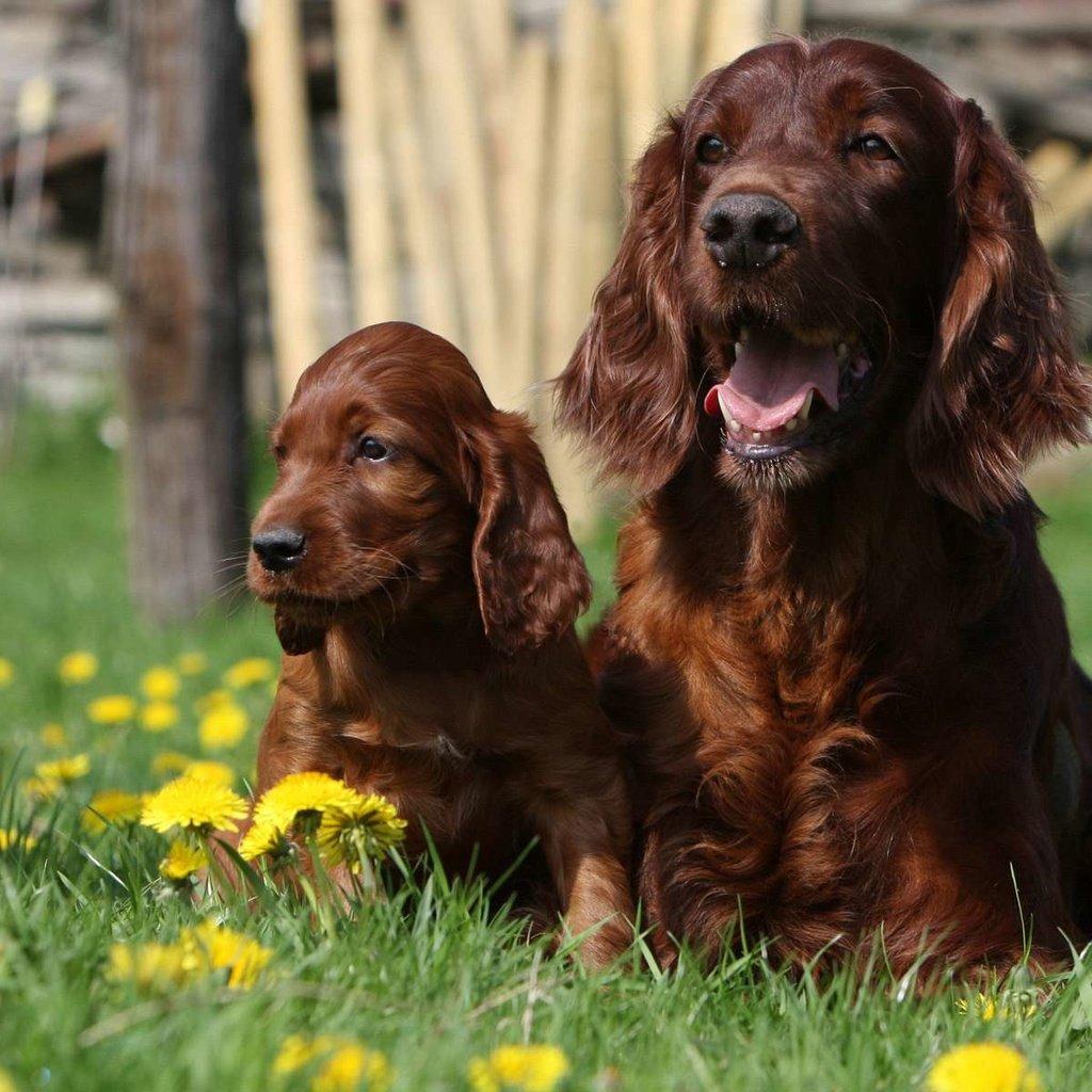 Покупая щенка ирландского сеттера в питомнике в Москве или других городах, проверьте документы питомника, обратите внимание на содержание щенков и их социализацию.