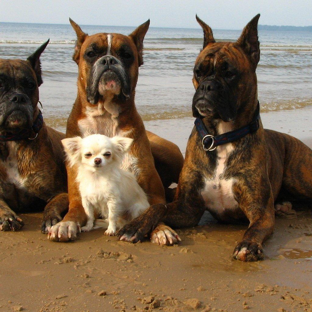 собака телохранитель картинки небольшой остров