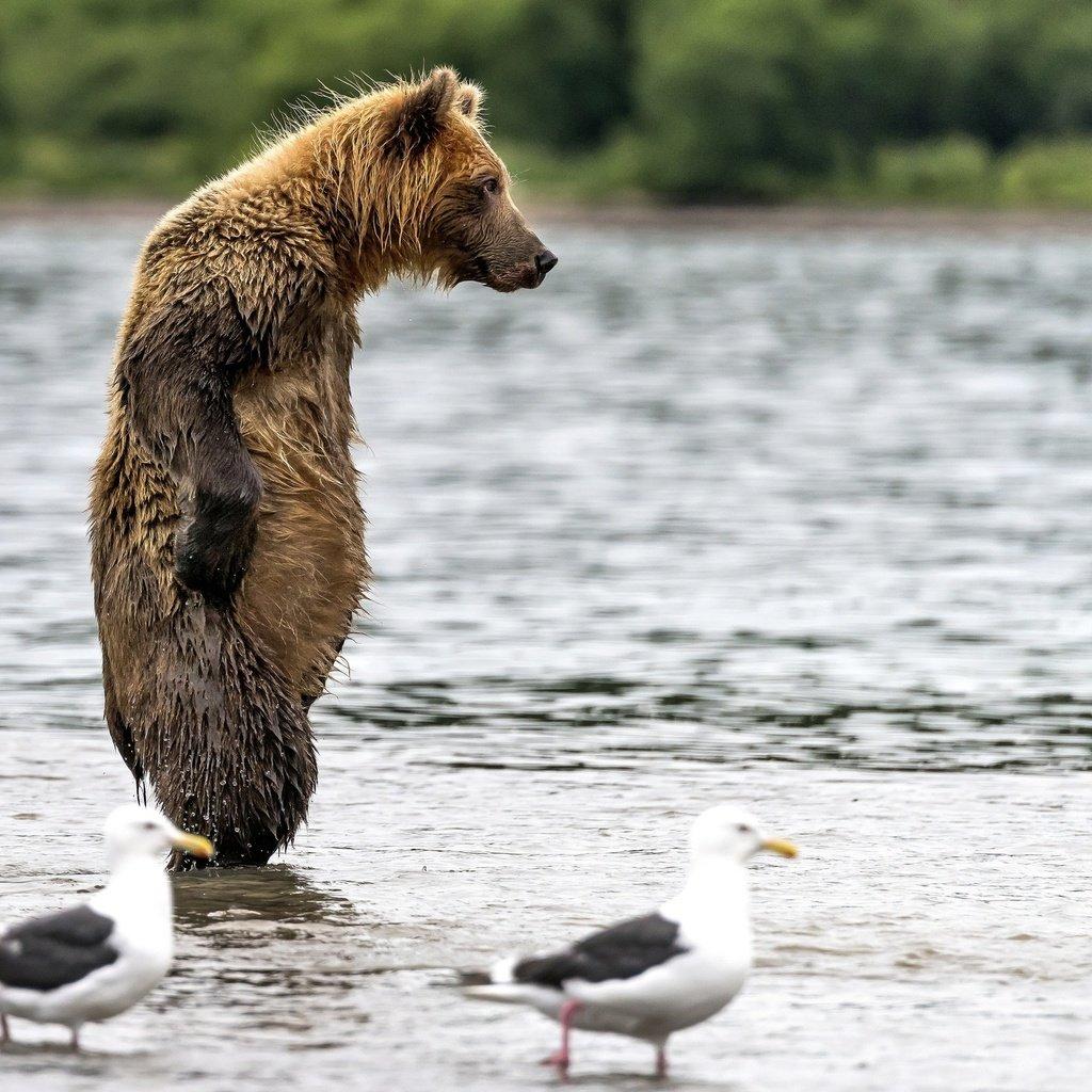 картинки мокрый медведь приём