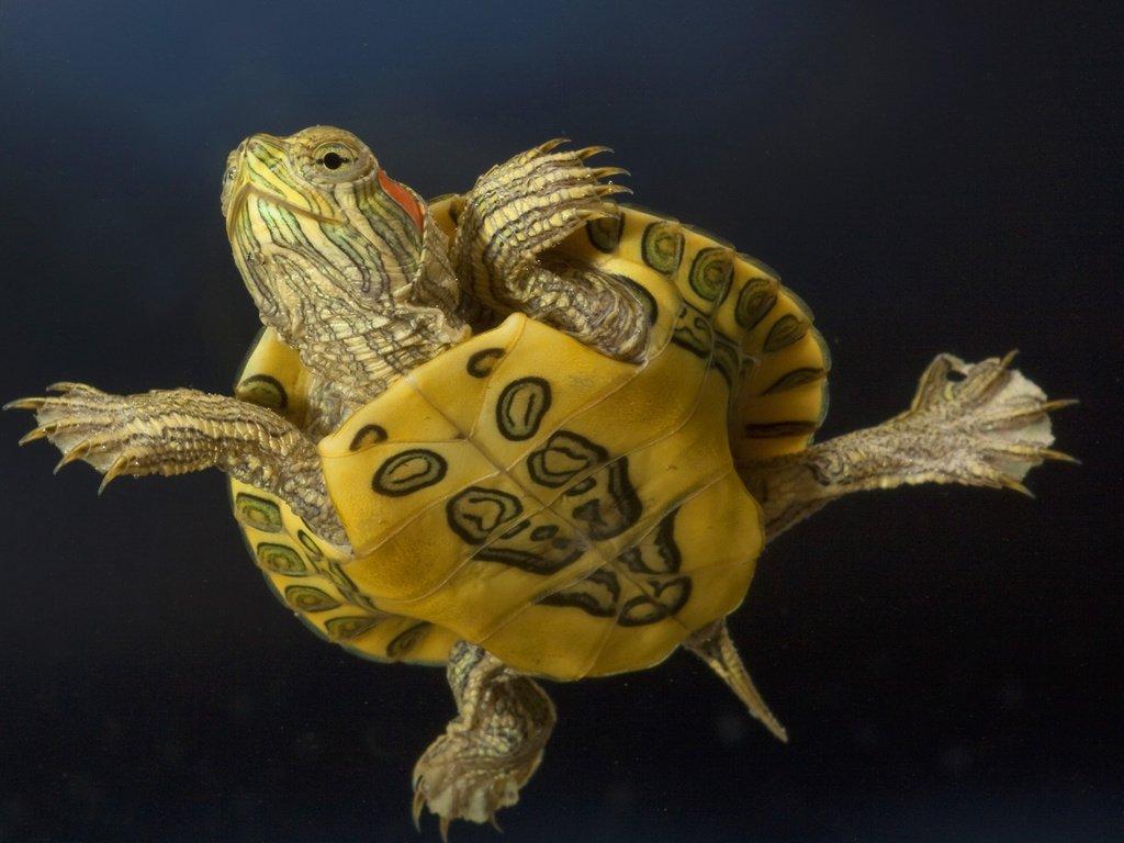 Чем кормить красноухую черепаху до года
