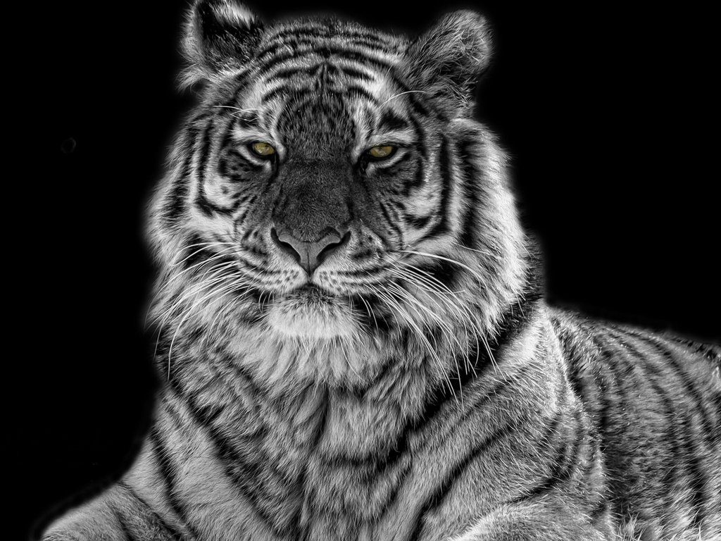 Tiger wallpaper black and white
