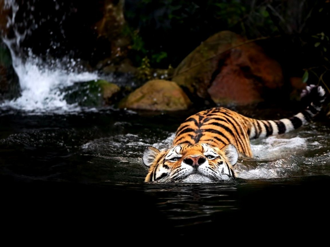 Water tiger wallpaper