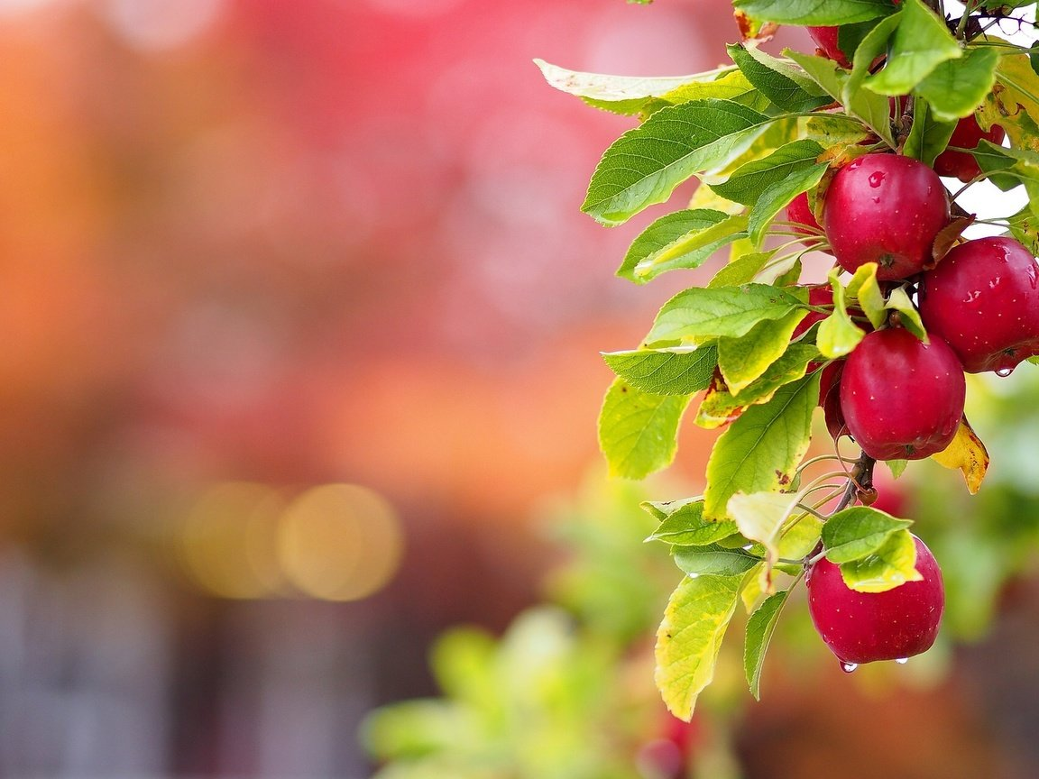apple tree Apple trees large variety means you can grow the best tree for your region there is nothing like sinking your teeth into a crisp, juicy apple on a hot summer day unless you count mom's apple pie at sunday brunch, or hot apple cider at the fall festival, and of course grandma's delicious biscuits with apple butter on a cold winter's day.