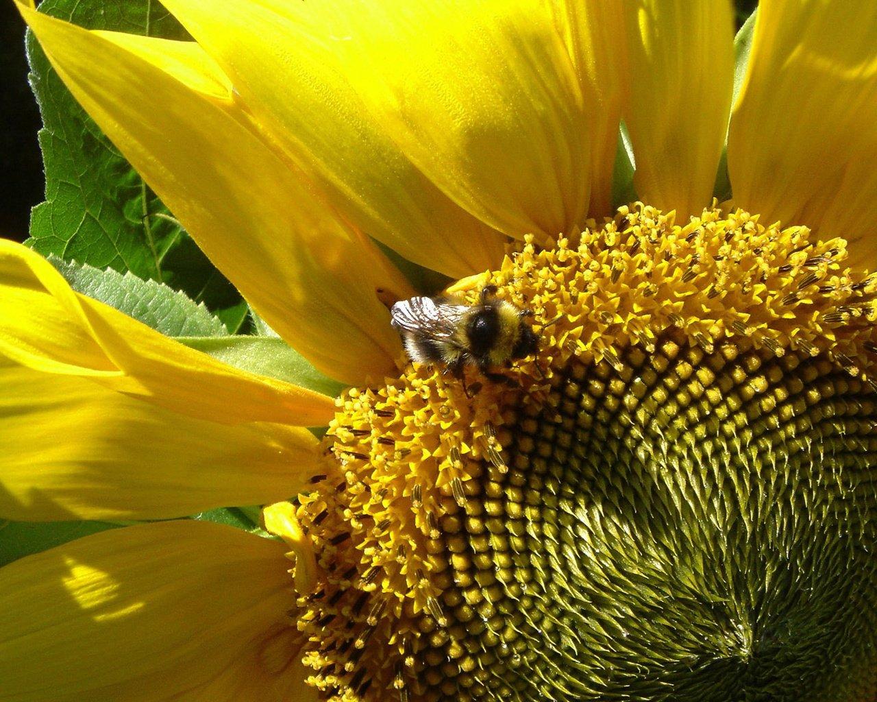 Пчела на подсолнухе  № 657691  скачать