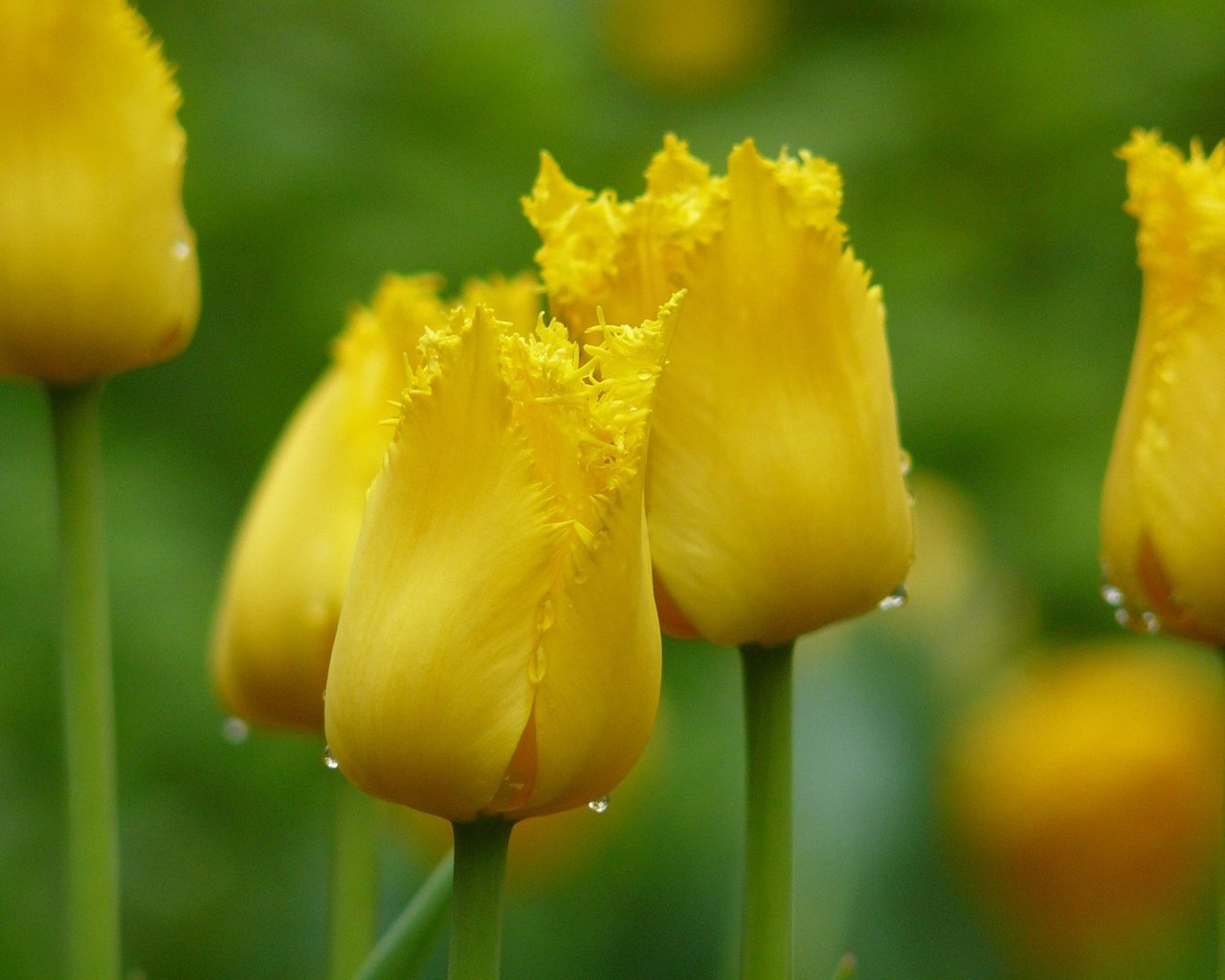 фотообои желтые тюльпаны ищет истину, держись