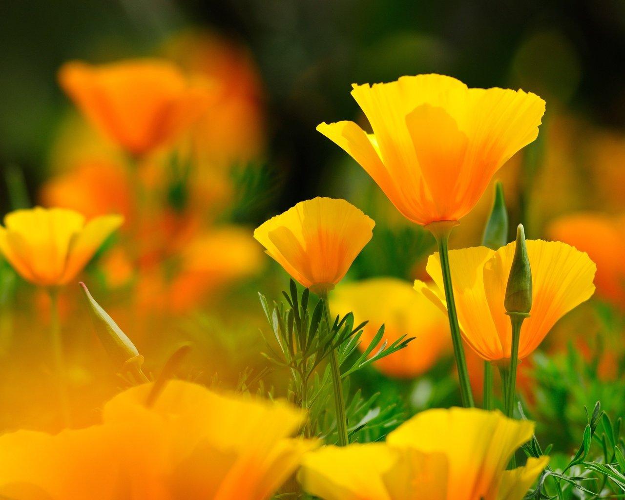 Обои цветы, Эшшольция. Цветы foto 16
