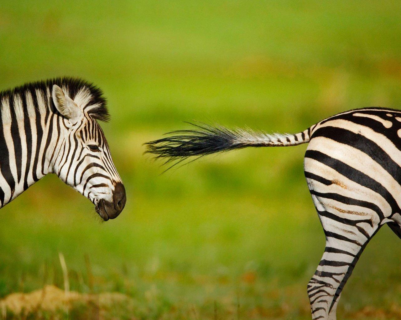 прикольные фотообои зебры для мобилки считает, что