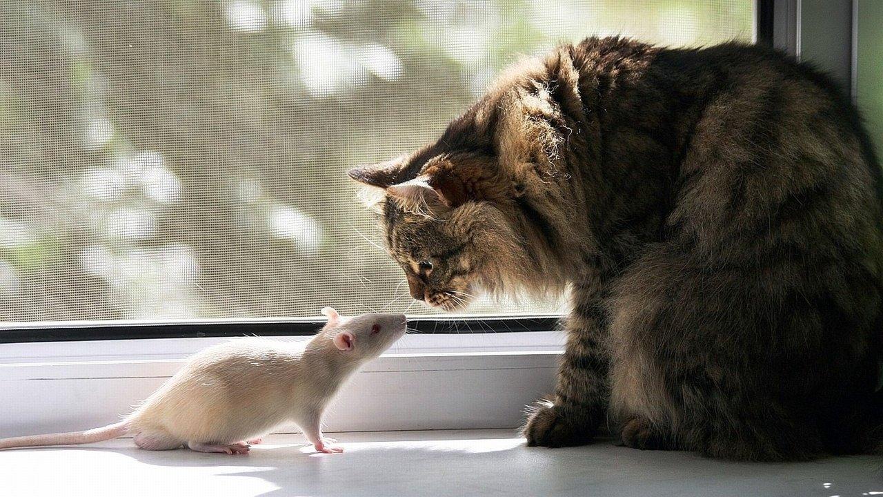 Белый кот ловит белых мышей