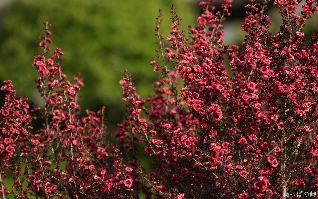 Кустарники цветут лето фото
