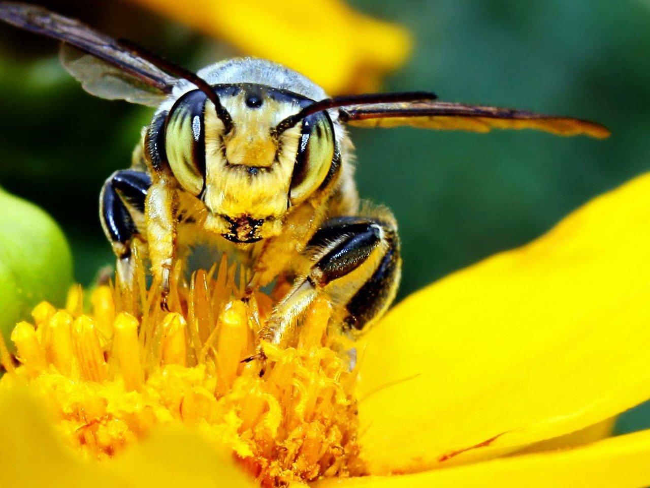 Пчелы цветы желтые бесплатно