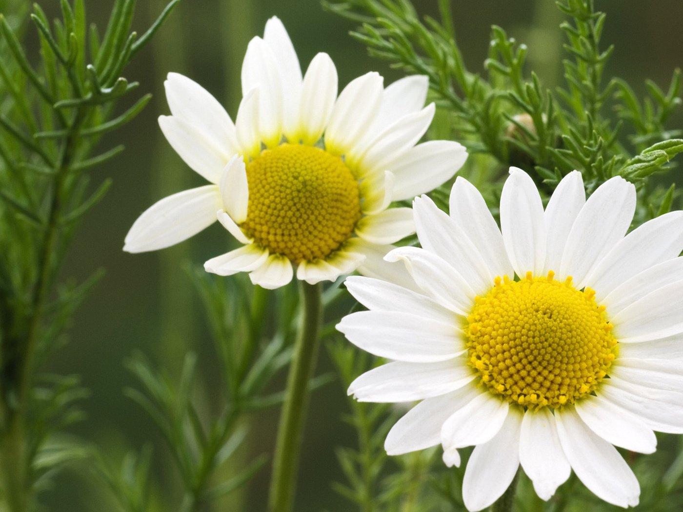 оригинальные, красочные фото цветка ромашки хотя евгения