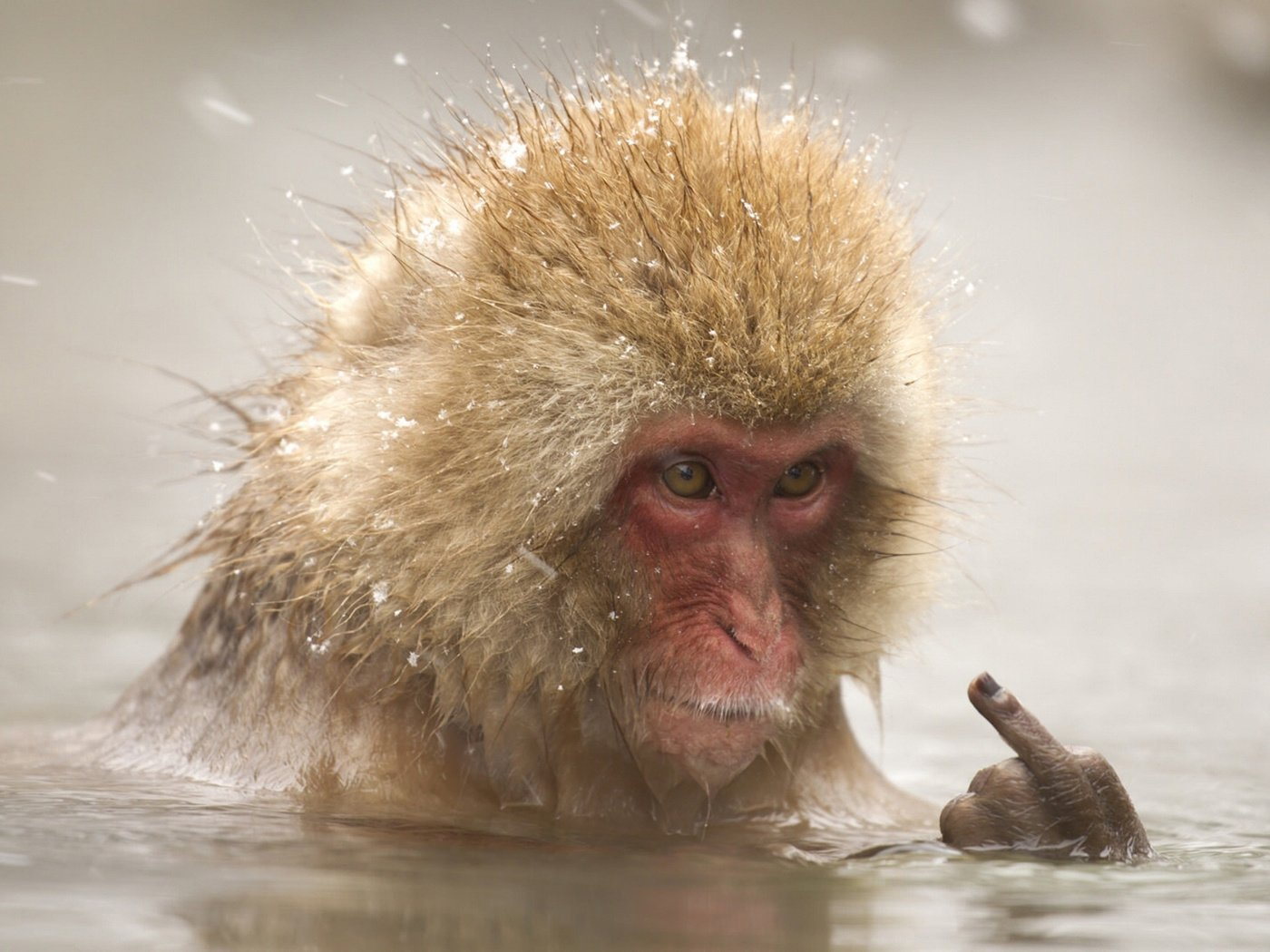 the japanese macaque A popular tourist draw for nagano, japan, are the snow monkeys, or japanese macaques, that are drawn to the area - particularly during inclement weather - by the local hot springs.