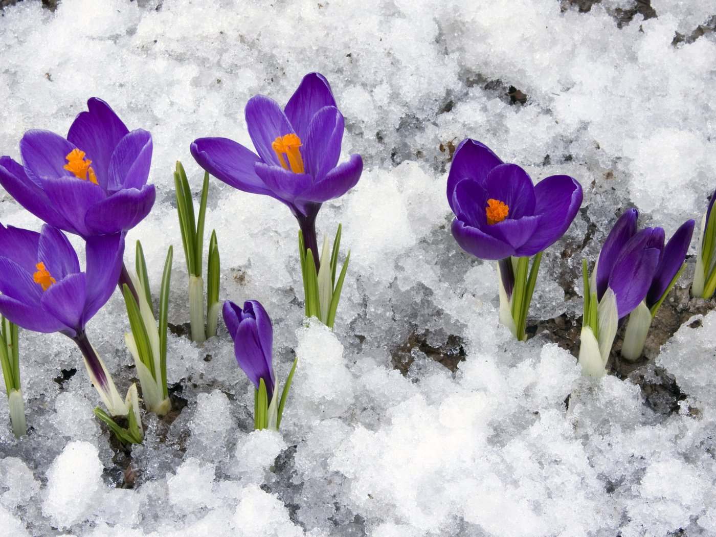 открытки крокусы в снегу вызова наряда полиции