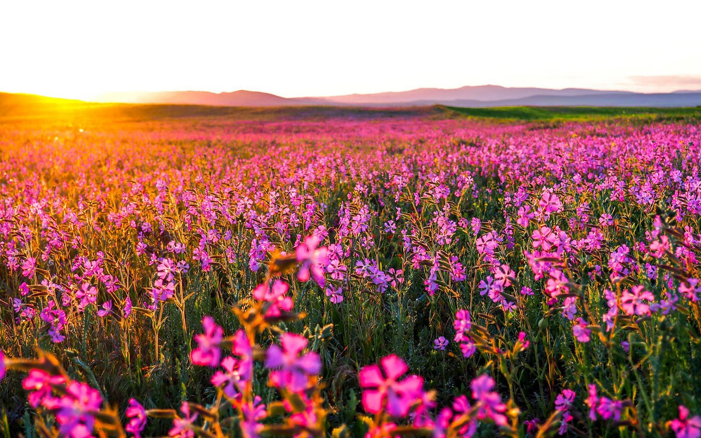 поле цветы рассвет field flowers dawn  № 3837083 без смс