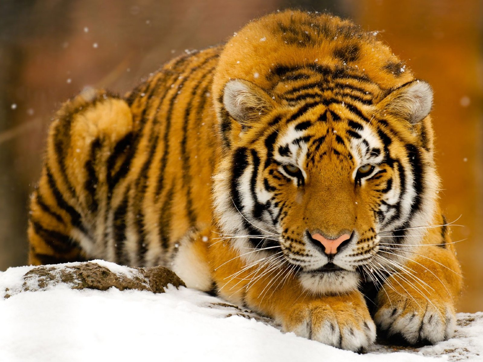 Открытки животные тигр, сделать приколы картинки