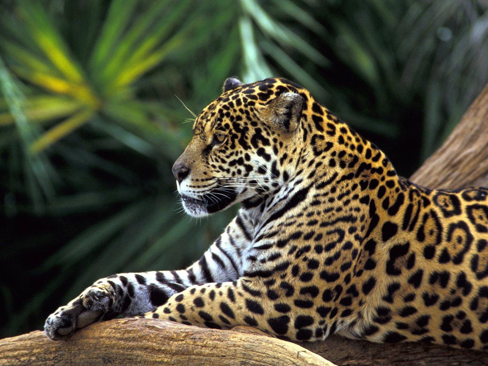 самой планете леопард фото животного красивый неграми классно трахаться