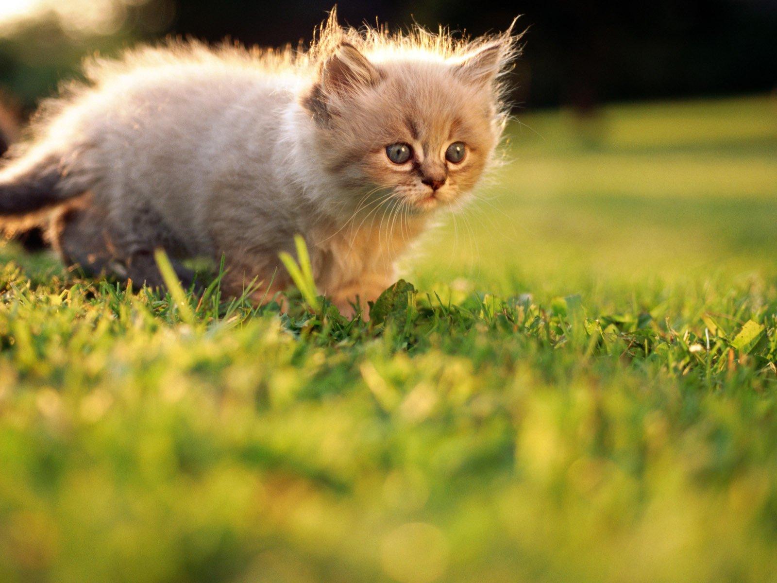 Котенок играющий с кошкой в траве  № 1994940  скачать