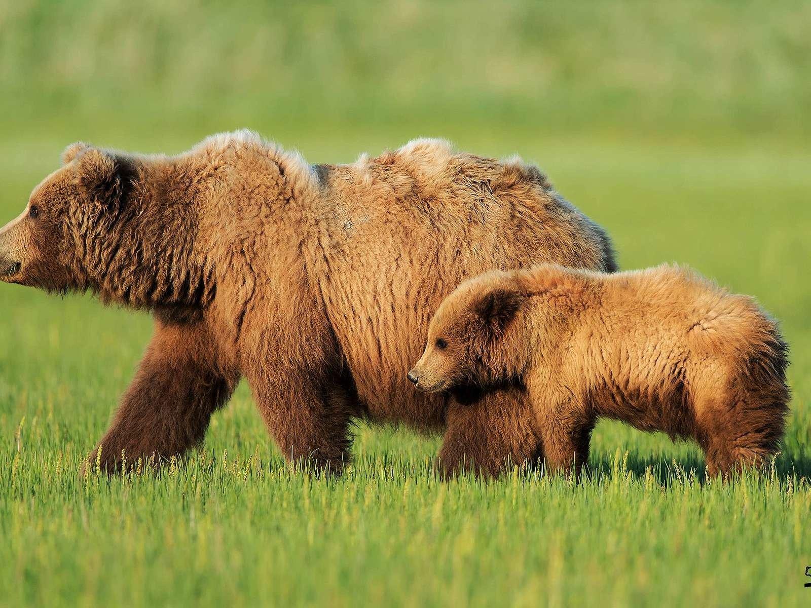 Картинки и карикатуры про медведей 32