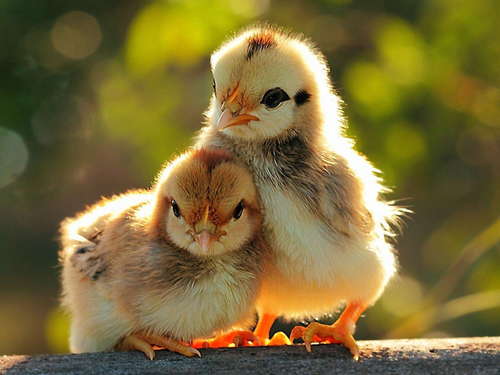 Beautiful baby chicken