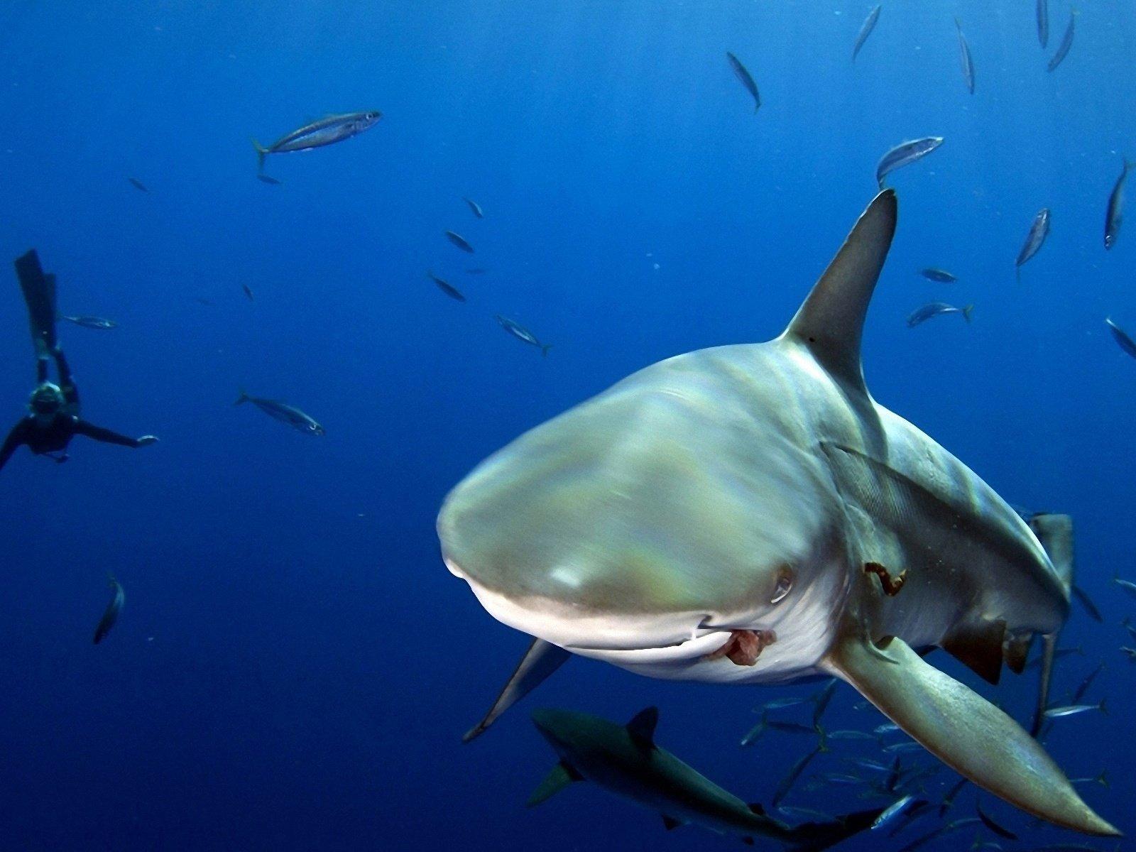 один реальные фото акул в океане вашему