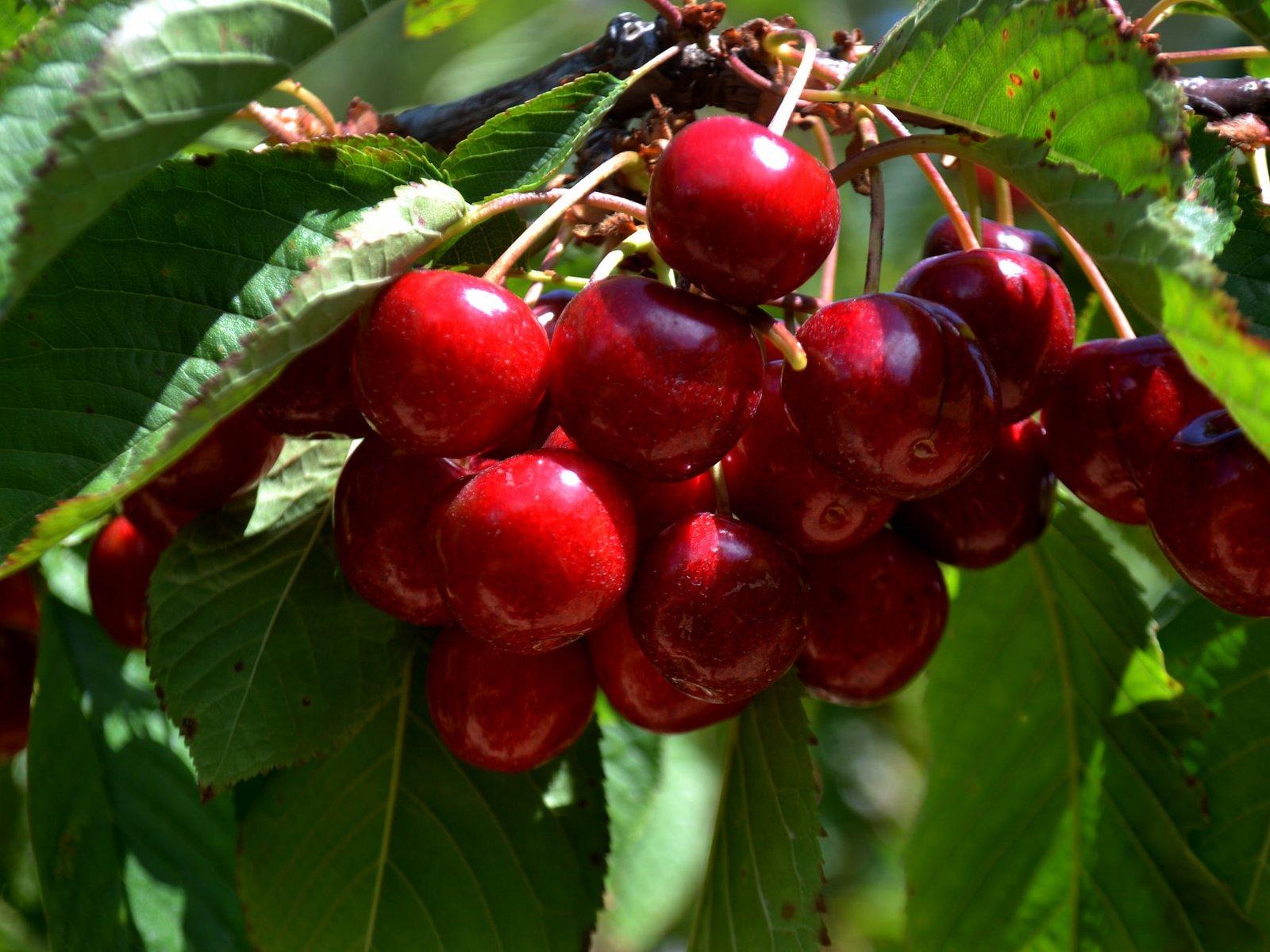натуральная расцветка фото черешня вишня гранж