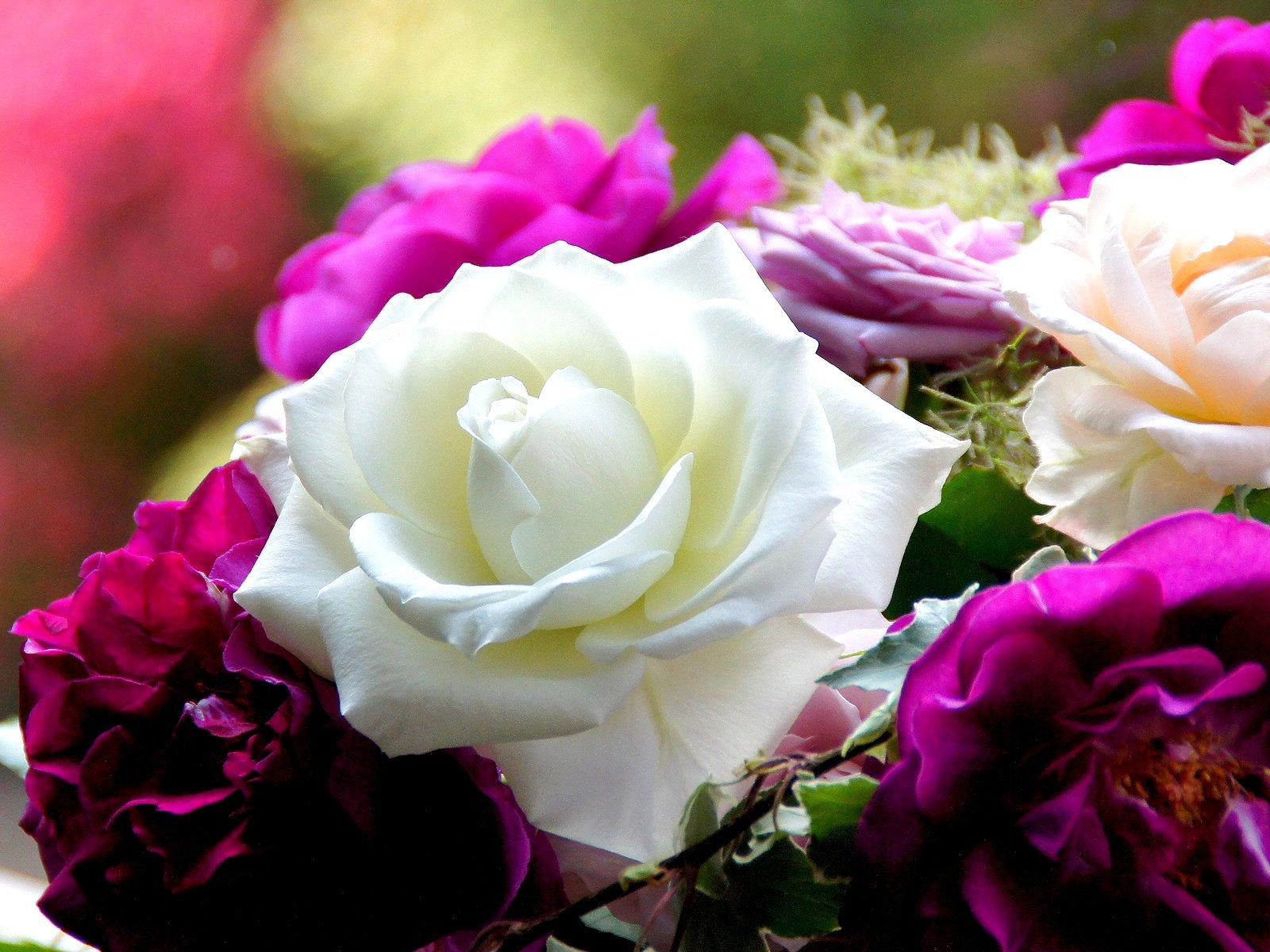 розы цветы фото большие большого разрешения плотная жирная больше