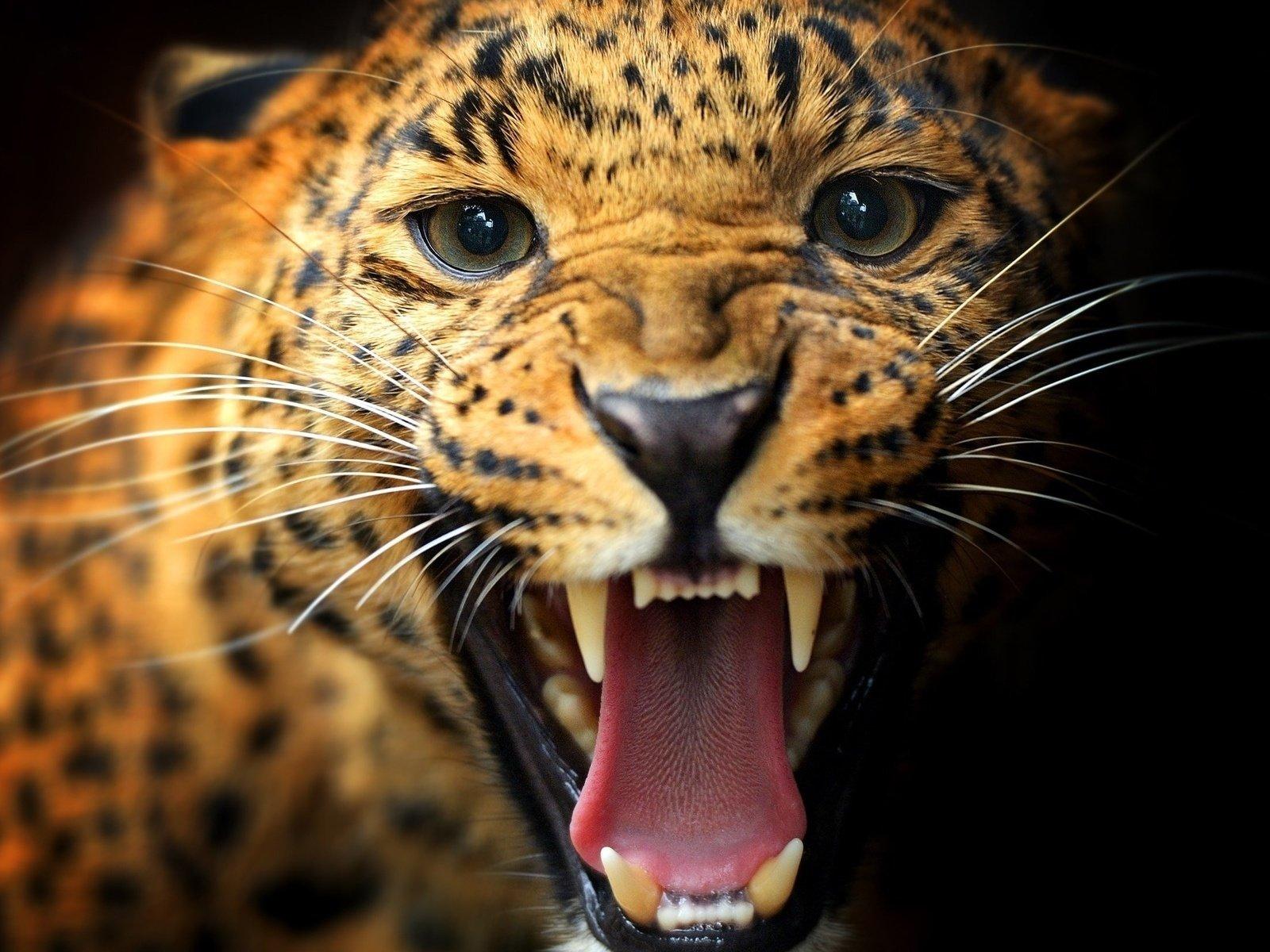 Крутые картинки леопардов, картинки про