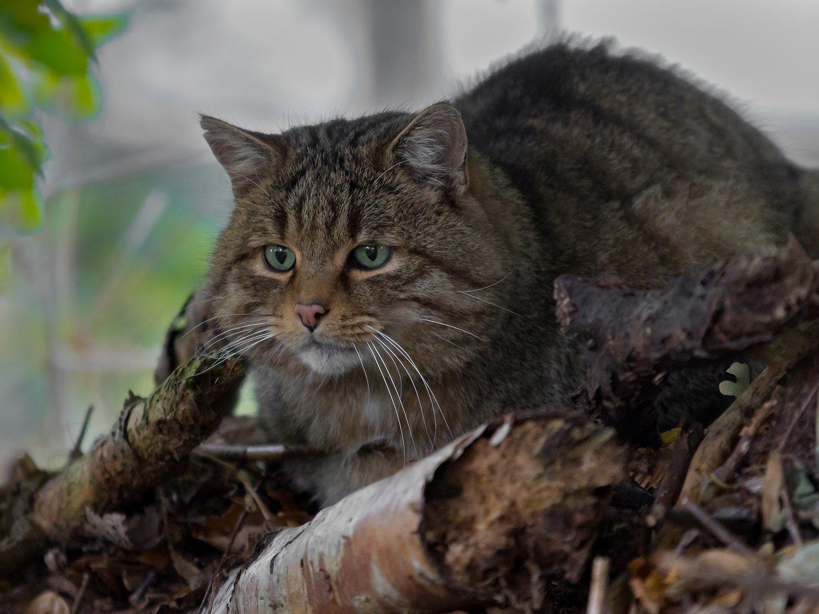 Обои на рабочий стол лесной кот