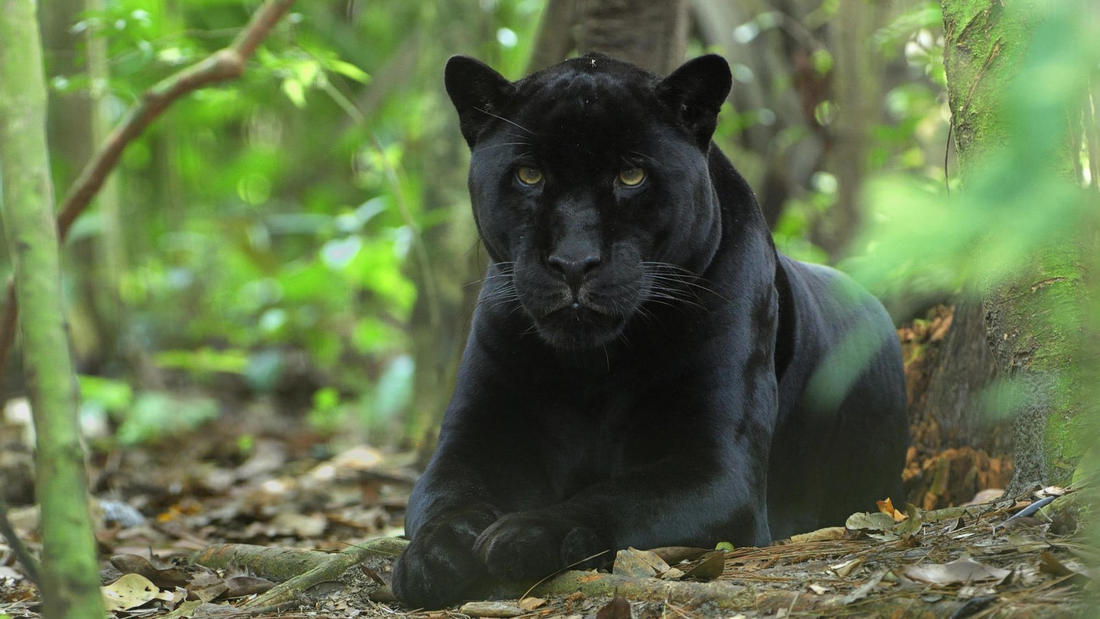 pictures-of-black-panther-leaping-graham-pussy-pics