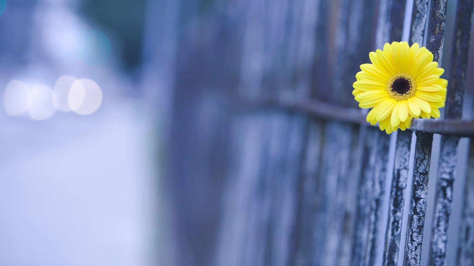 Желтые цветы под забором скачать