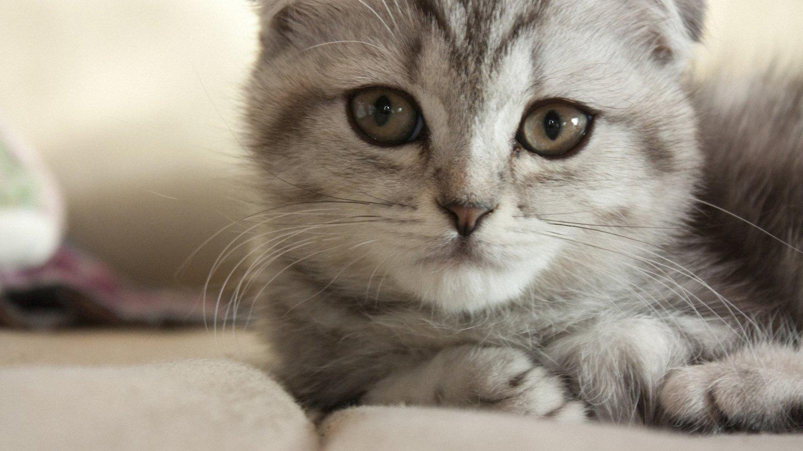 Картинки с вислоухими котятами