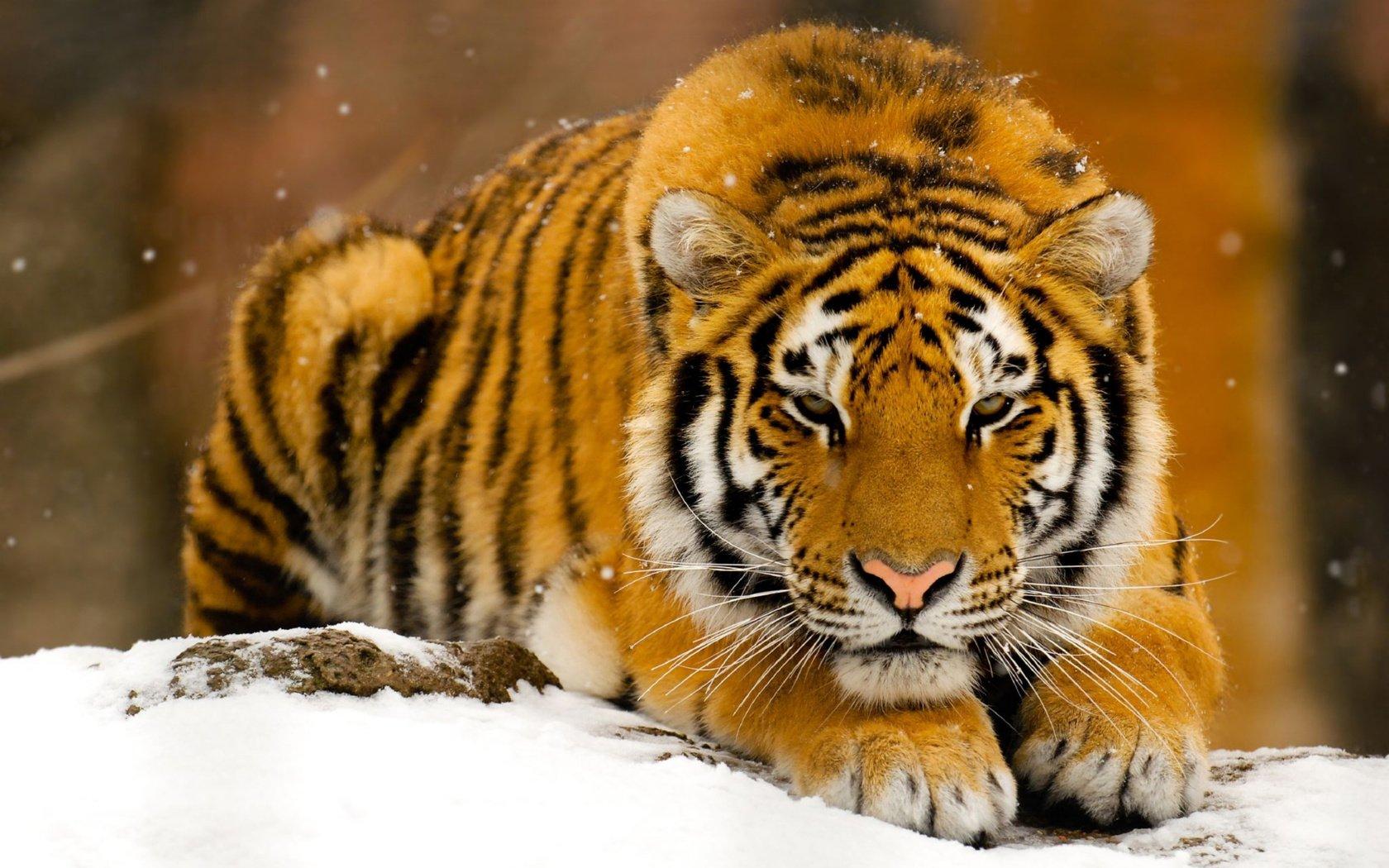 открытки животные тигр предназначенные