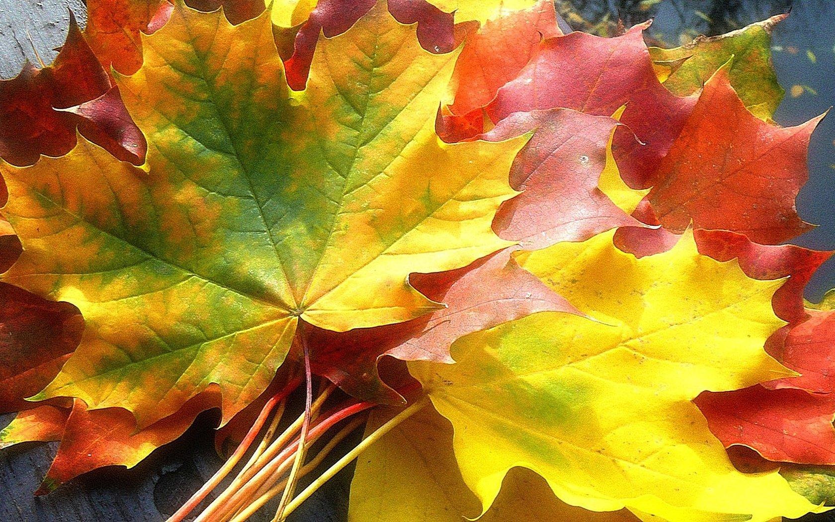 Картинки осени кленовый лист