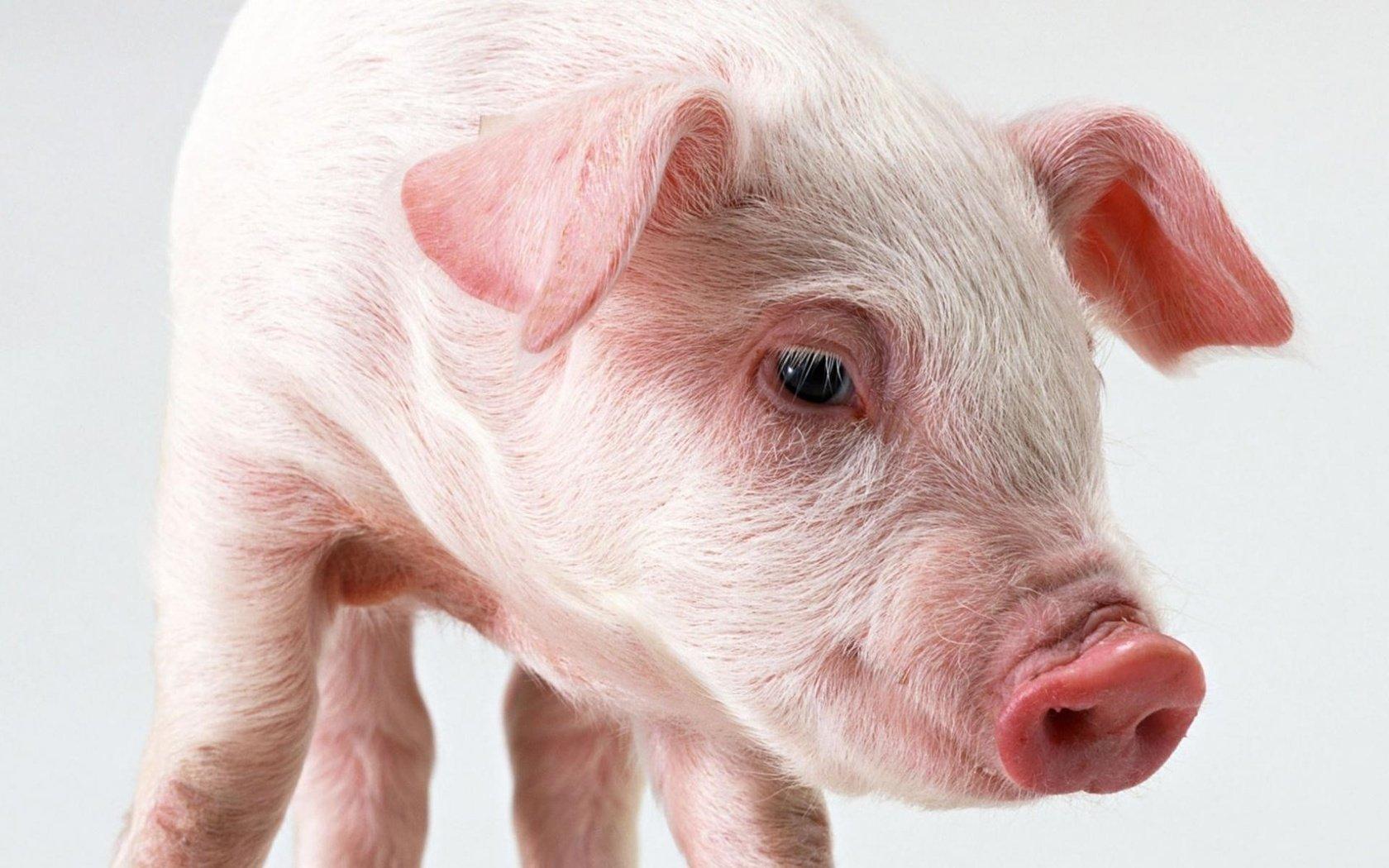 скачивания картинки свиньи комплимент отеля украшение