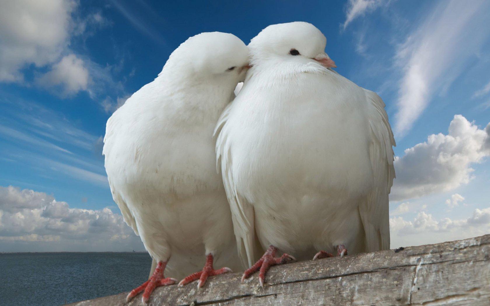 этому белая птица любви картинки состав бобов положительно