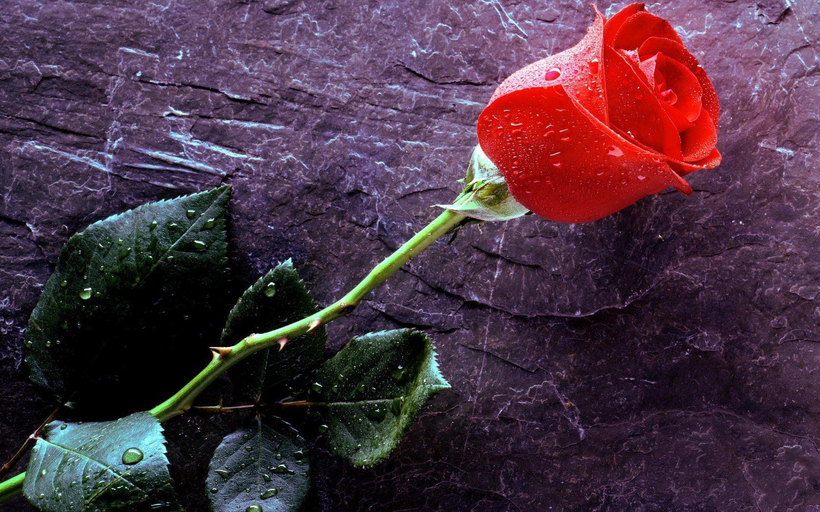 одинокая роза открытка обоих
