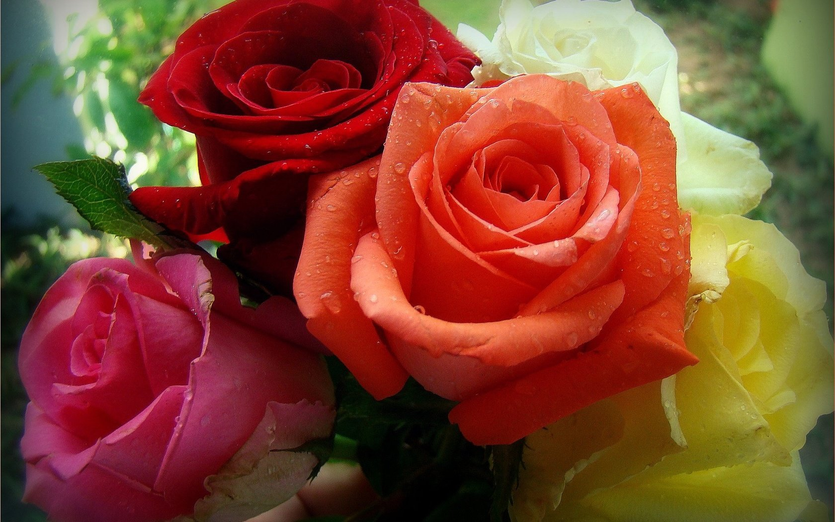 Цветы розы яркие