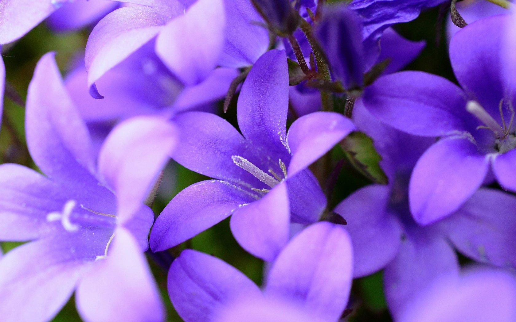 цветок фиолетовый  № 814219 без смс