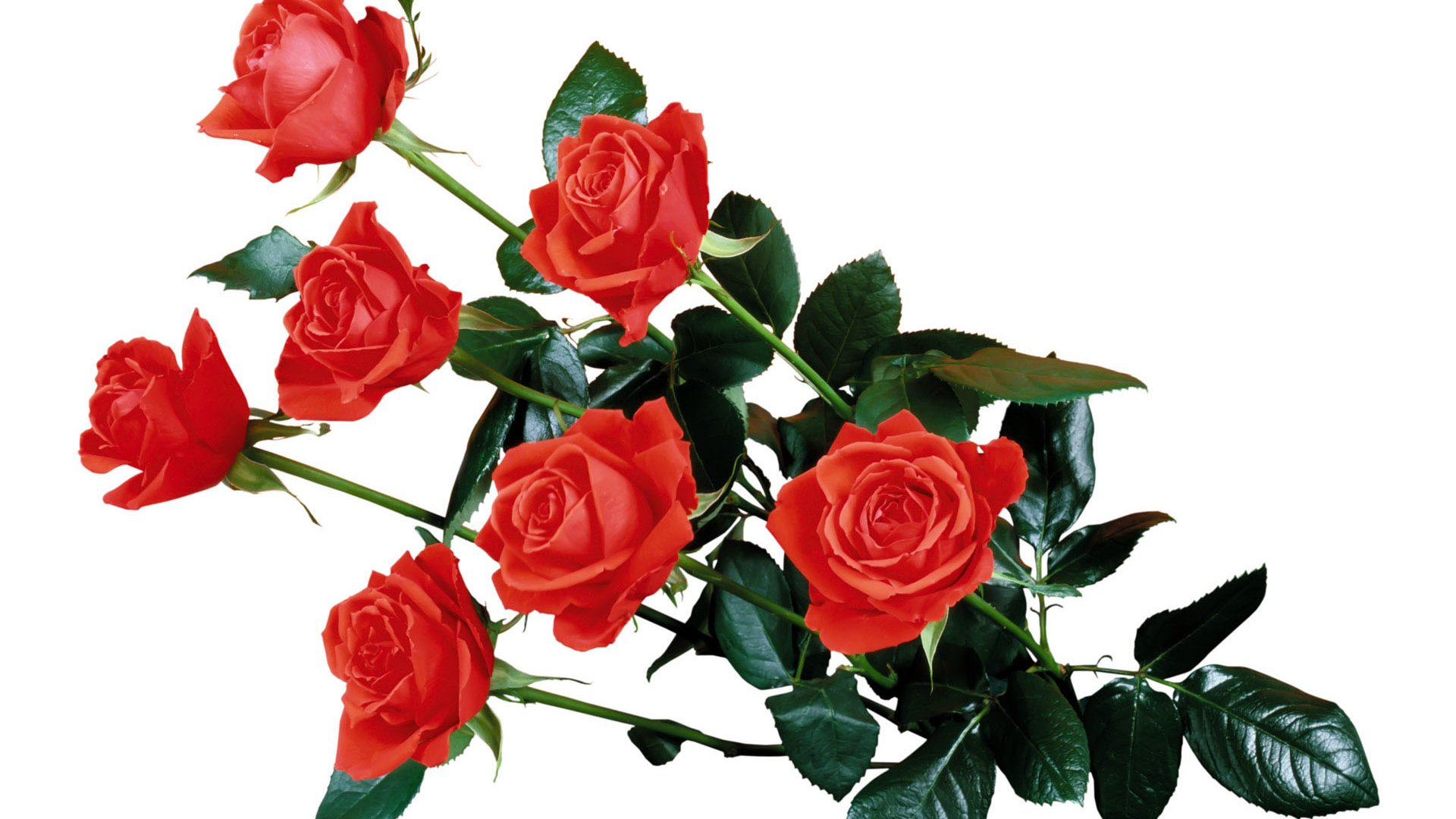 Открытка с розами на белом фоне, картинка для дочки
