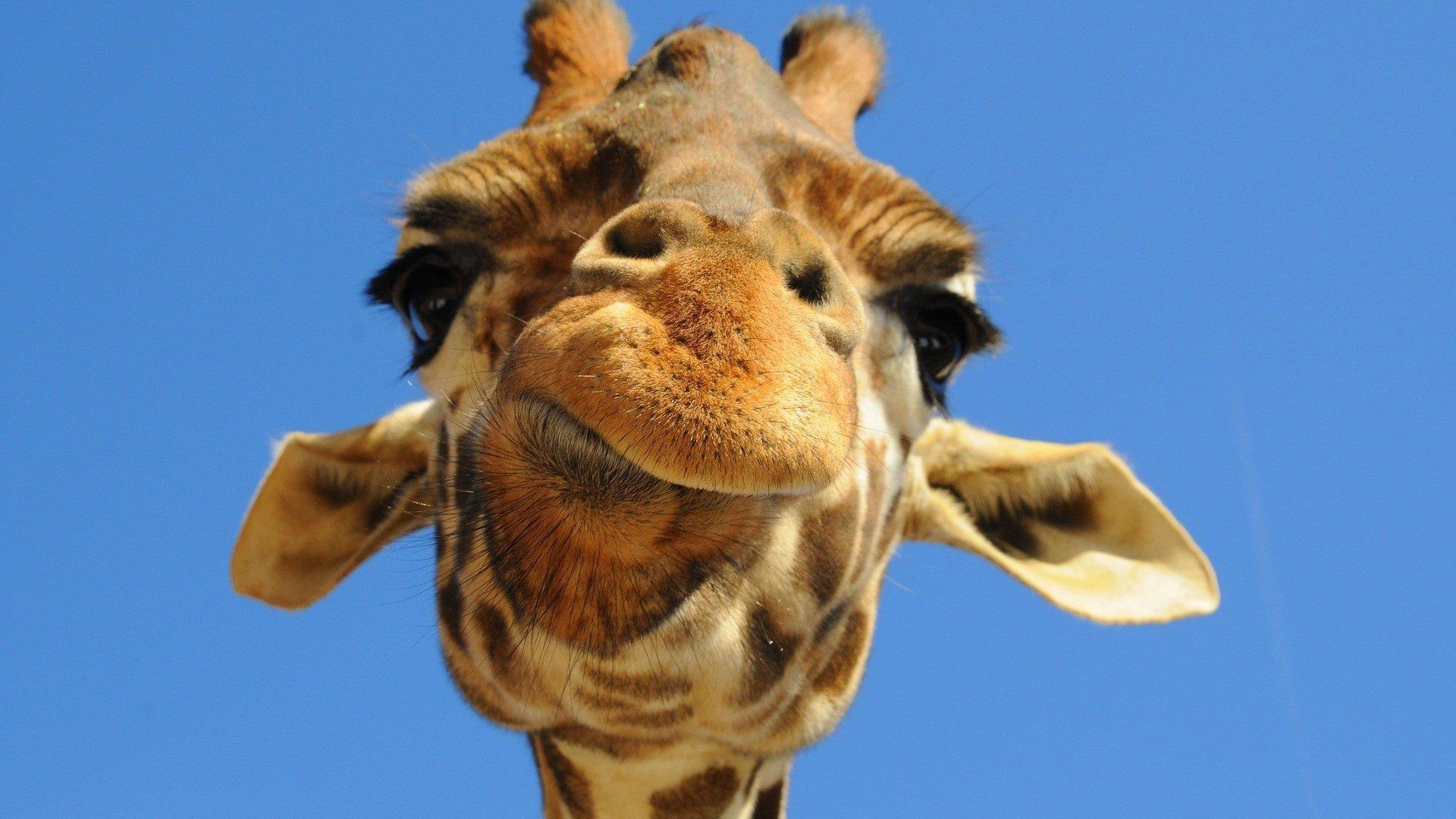 Жираф ржачные картинки
