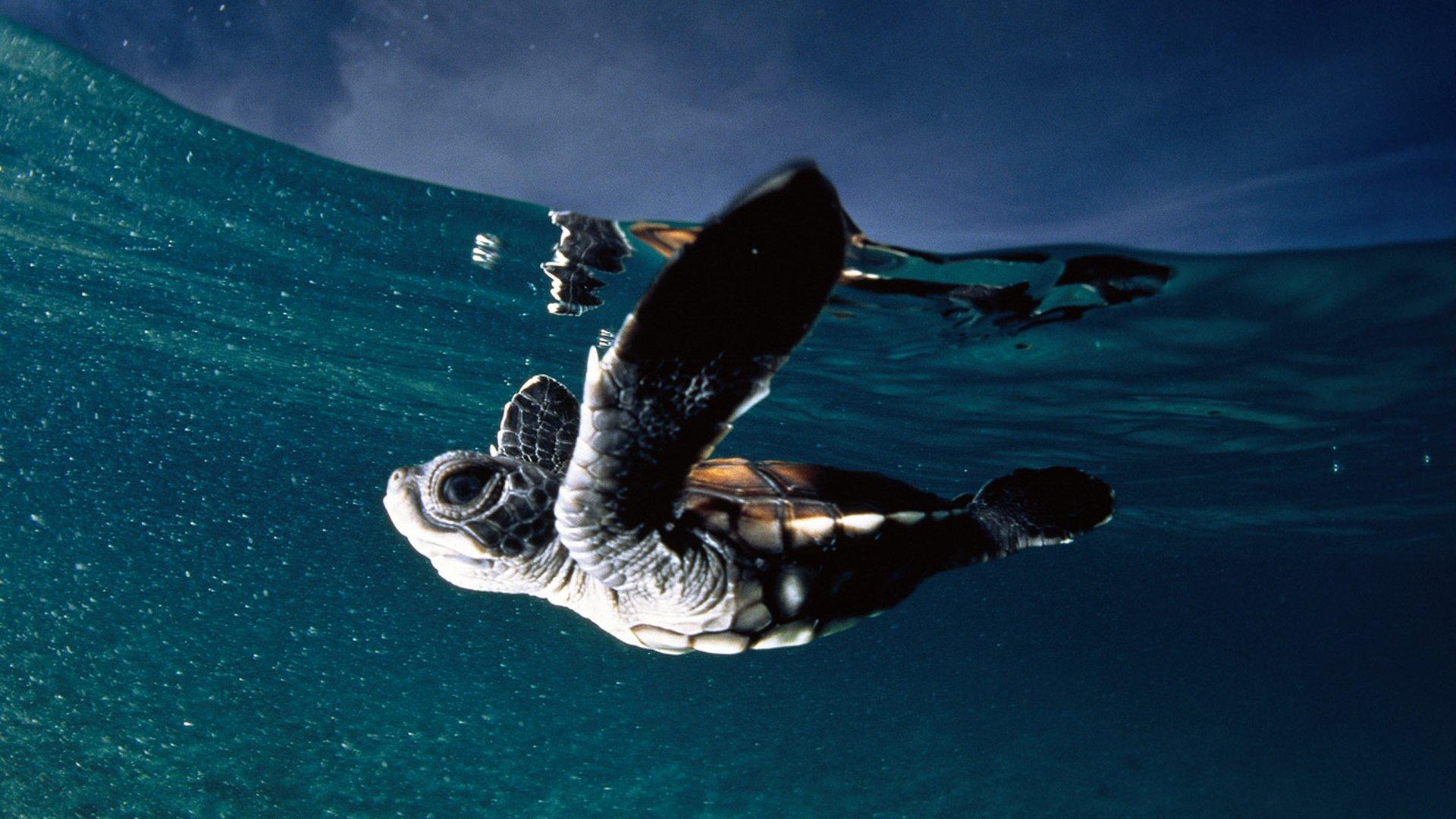 черепаха с акулой загрузить