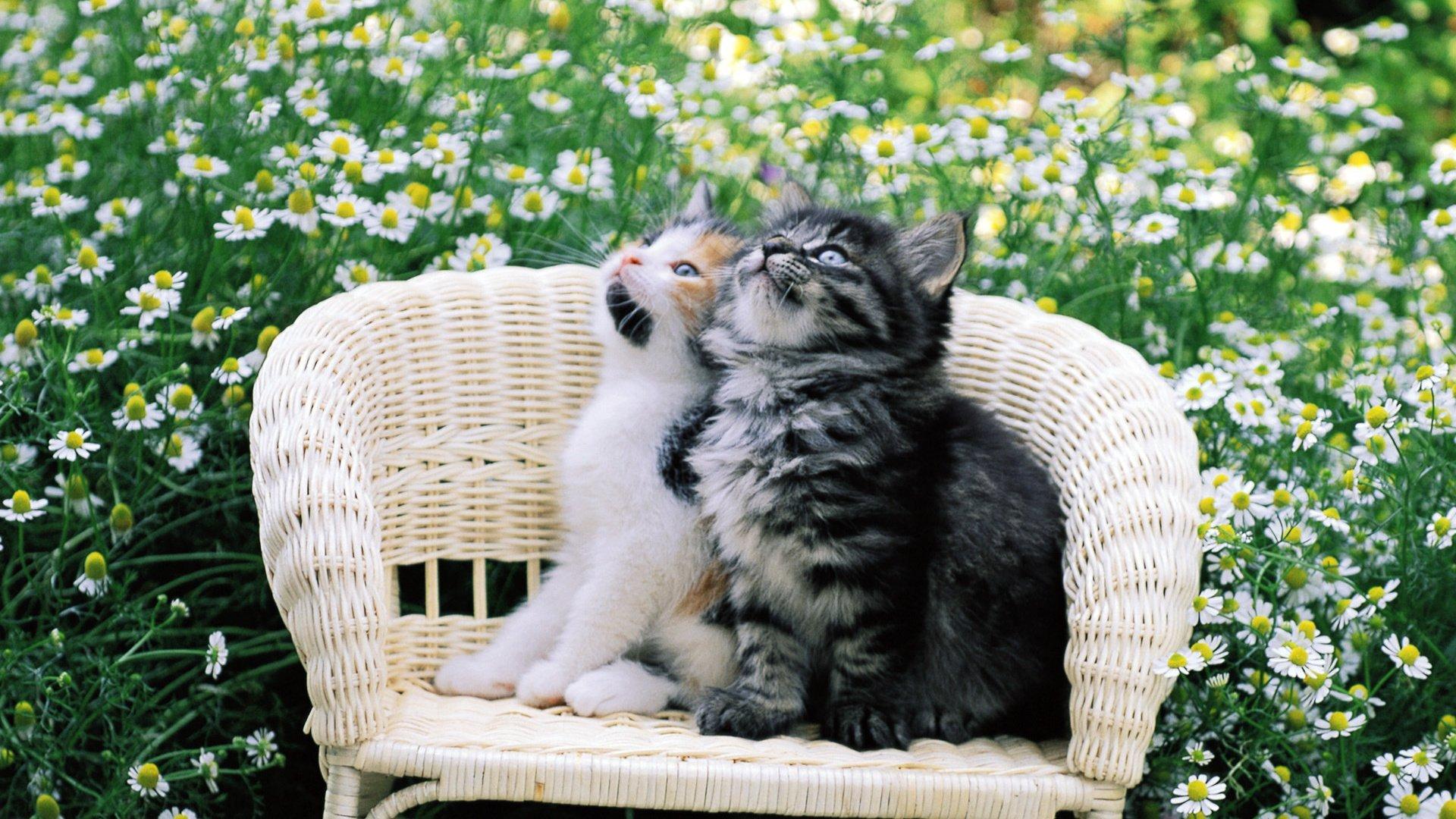 профессиональный красивые фото котят с ромашками компании относится