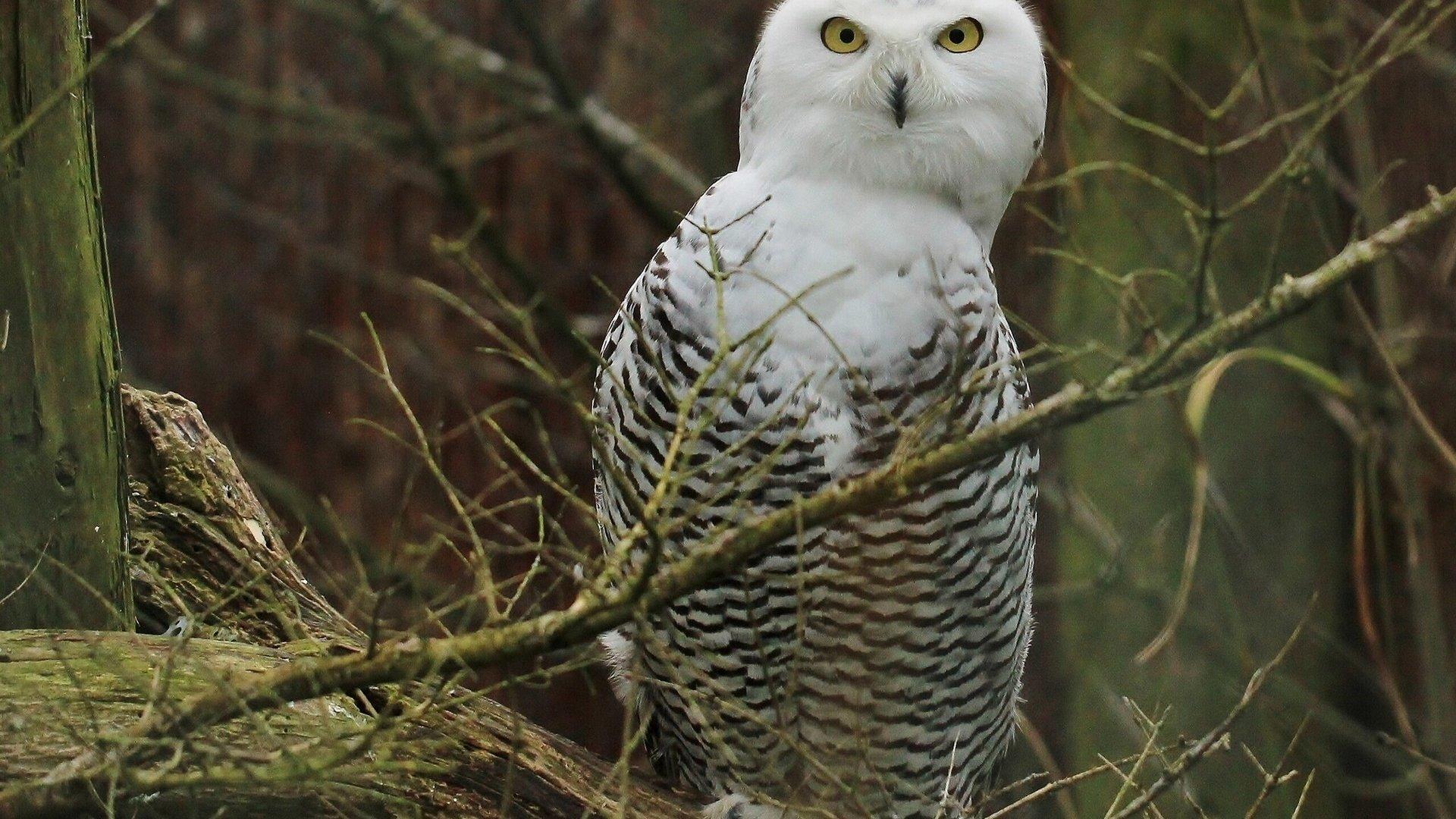 Фото белой совы на аву