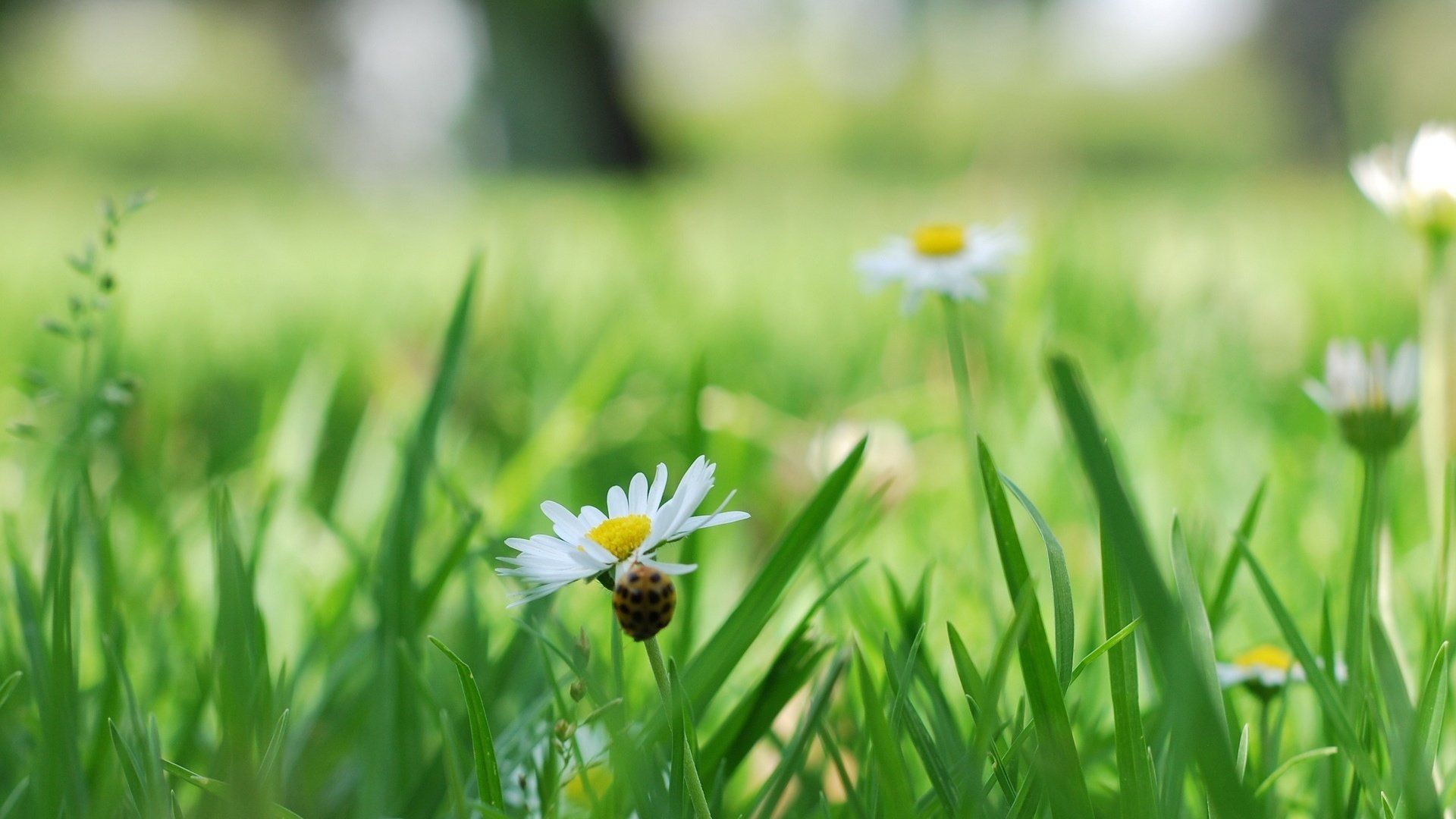 ромашки трава chamomile grass  № 3837805 загрузить