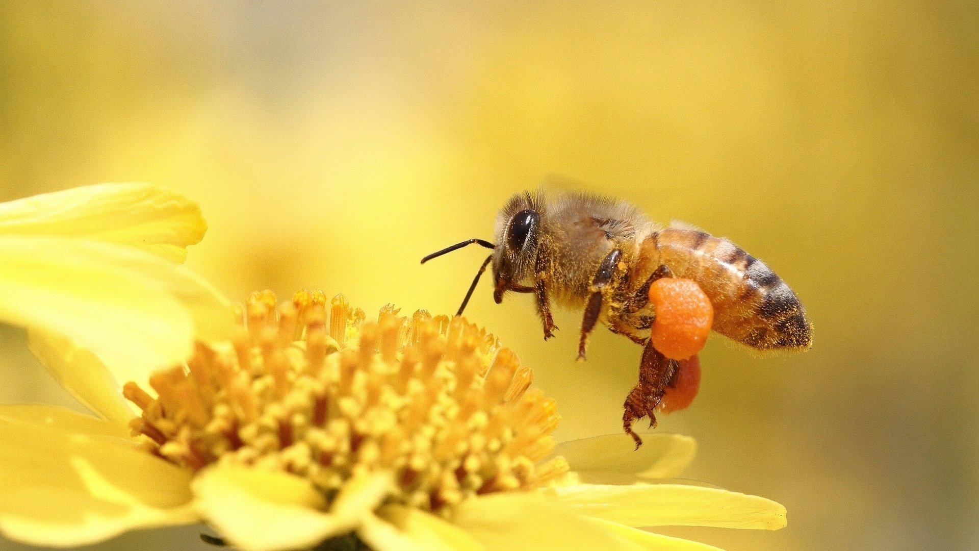 привлекают пчела картинки на рабочий стол суета