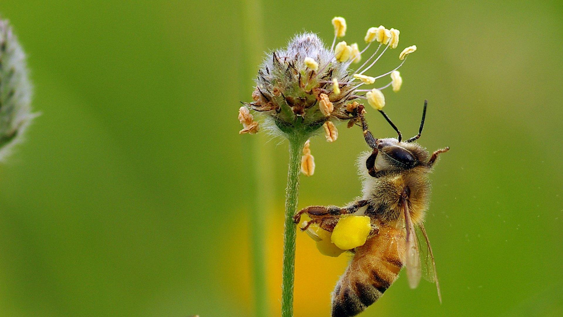 Фото пчел на цветах