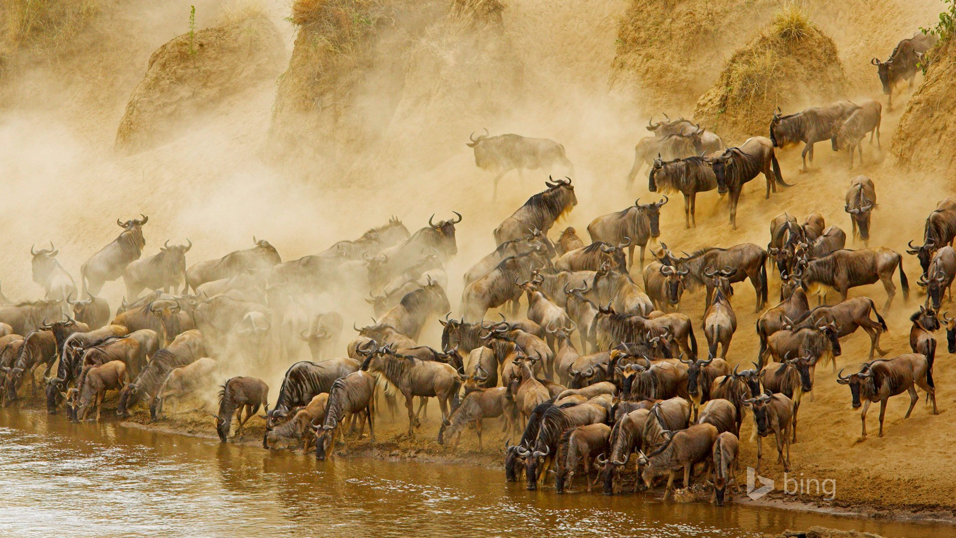 Blue Wildebeests at Sunrise, Masai Mara, Kenya  № 1443659  скачать