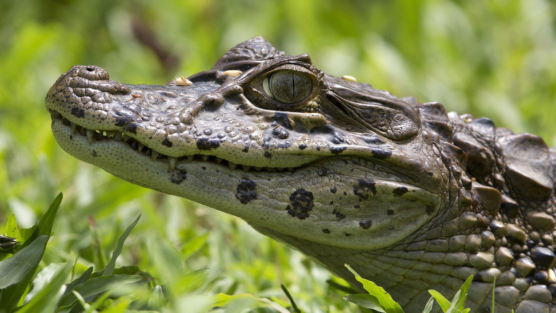 Картинки красивые крокодилов