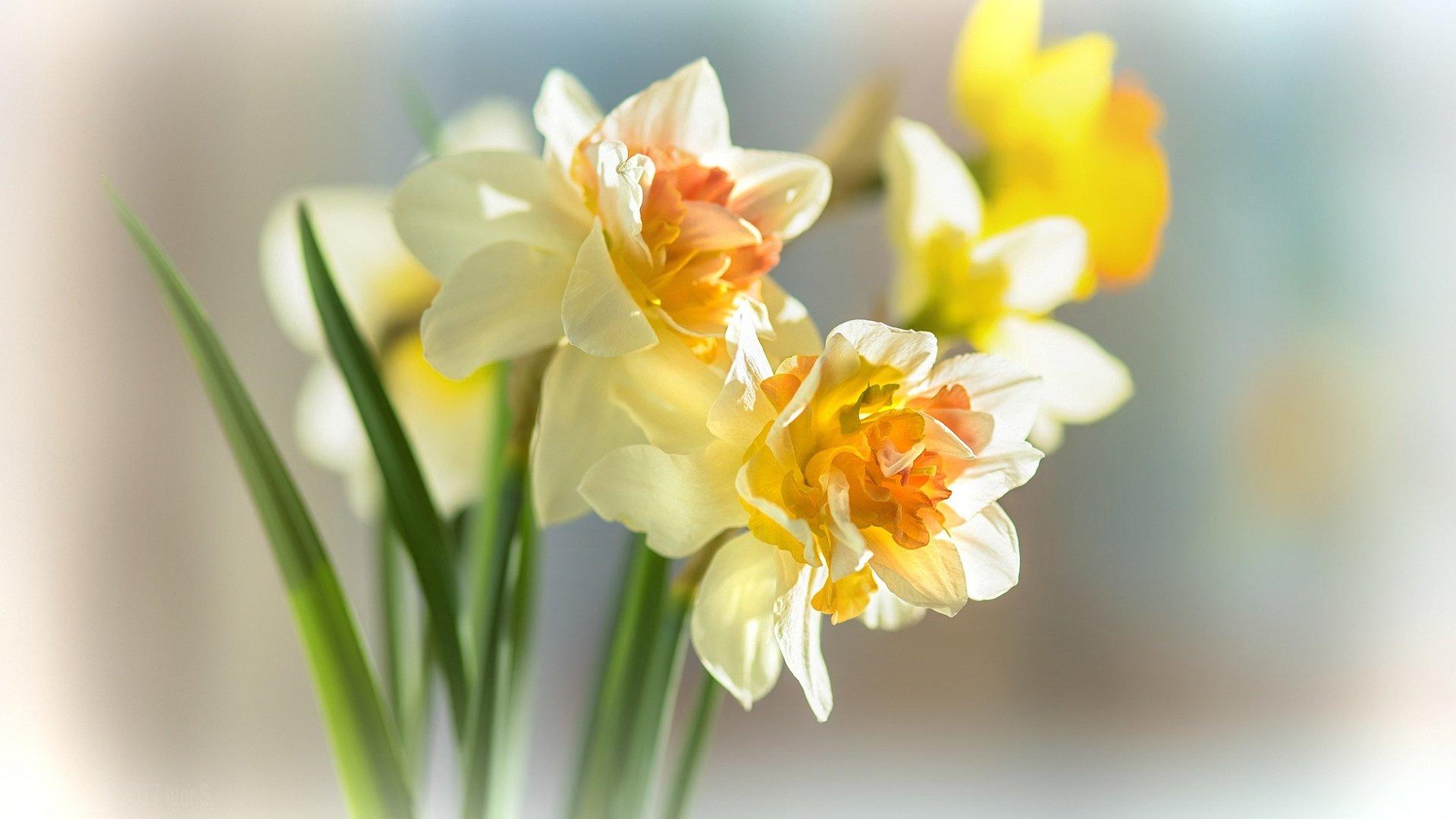 время реставрации картинки весенние цветы нарциссы этот